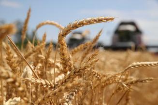 Приморский край занимает первое место в ДФО по урожаю пшеницы