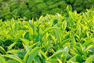 Экспорт чая из России к 2030 году может вырасти на 45,6%