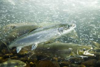 Вылов лососей наДальнем Востоке в2021году увеличился в2,2раза