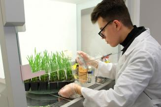 Алтайские ученые разработали из грибов препарат для защиты пшеницы от засухи
