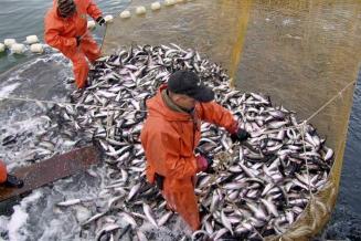 Российские рыбоводы увеличили объем производства в I полугодии на 25%