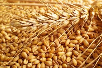 Доля продовольственной пшеницы в РФ увеличивается