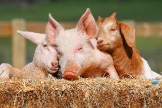 В России планируют ужесточить контроль за антибиотиками в животноводстве