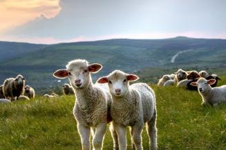 В Чеченской Республике поголовье овец и коз выросло на 7,3%