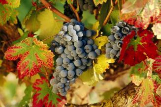 Дальний Восток РФ имеет зоны для выращивания органического винограда — «Роскачество»