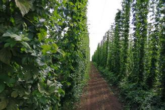 Чувашские ученые применяют новую технологию выращивания хмеля