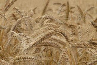 В Кузбассе намолочено 1,2млнт зерна — на13,8%больше прошлогоднего объема