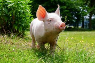 Германии нужна новая стратегия для свиноводства, чтобы противостоять низким ценам — министр