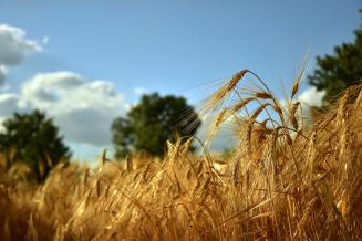В Брянской области убрано свыше 230тыс.га зерновых, или 56,2% отплана