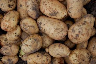 В Бурятии накопано 13,3тыс.т картофеля