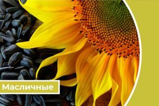 Дайджест «Масличные»: в России собрано более 2,3 млн т основных масличных