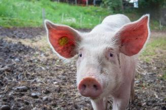 В Псковской области поголовье свиней выросло на 13,5%