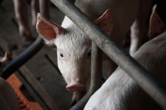 По итогам 2021 года производство свиней в России превысит 5,5 млн т в живом весе