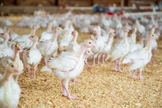 Власти «подкормят» птицеводов
