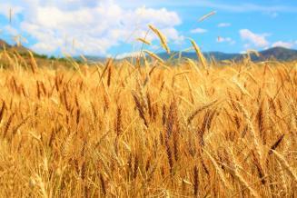 В Курской области получено больше всего пшеницы в ЦФО