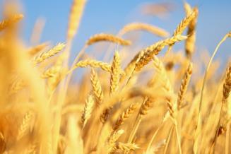 USDA повысил прогноз мирового производства пшеницы
