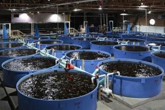 В России появятся первые наземные заводы по выращиванию семги