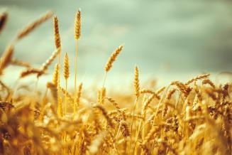 USDA снизил прогнозы мирового производства и потребления пшеницы