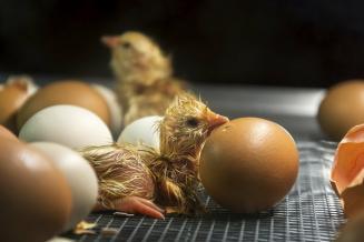 Россельхознадзор разрешил ввоз инкубационных яиц ицыплят с26предприятий Германии