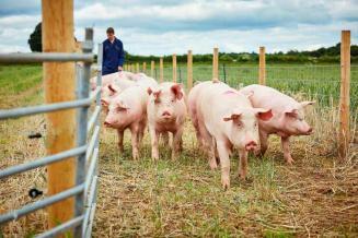 Пальма первенства в европейском свиноводстве от Германии постепенно переходит к Испании
