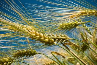 Прогноз мирового потребления ячменя снижен до151,6млнт — Минсельхоз США
