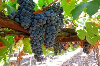 Площадь виноградников в России к 2030 году планируют увеличить на35%